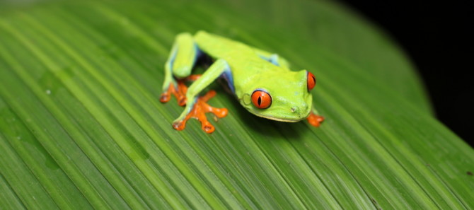 Costa Rica frog on a leaf