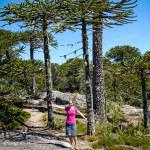 Alyssa with Monkey Puzzle Trees in Nahuelbuta