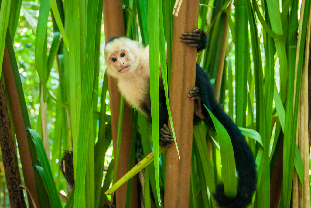 Monkey at Manuel Antonio