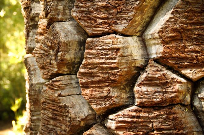 Monkey Puzzle Tree Bark in Nahuelbuta National Park
