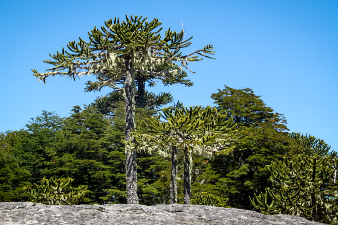 Monkey Puzzle Trees at Parque Nahuelbuta in Chile