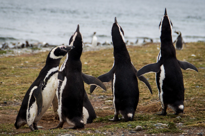 Penguins posing at Isla Magdalena