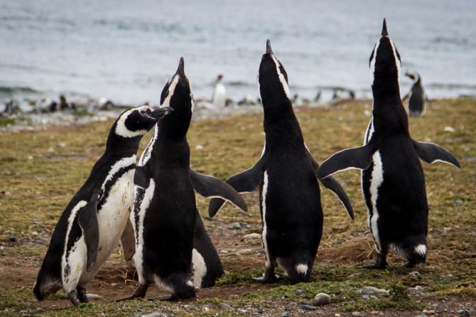 Penguins posing at Isla Magdalena