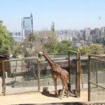 View of Santiago and a Giraffe from the Zoo on San Cristobal Hill