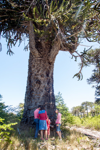 Geocaching with kids exploring in Conguillio national park in Chile