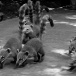 Iguazu Falls Group of Coatis