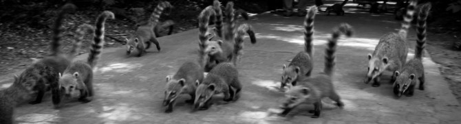 Group of Coatis animals at Iguazu Falls