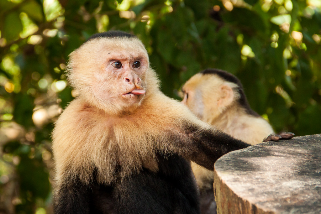 Monkey sticking tongue out