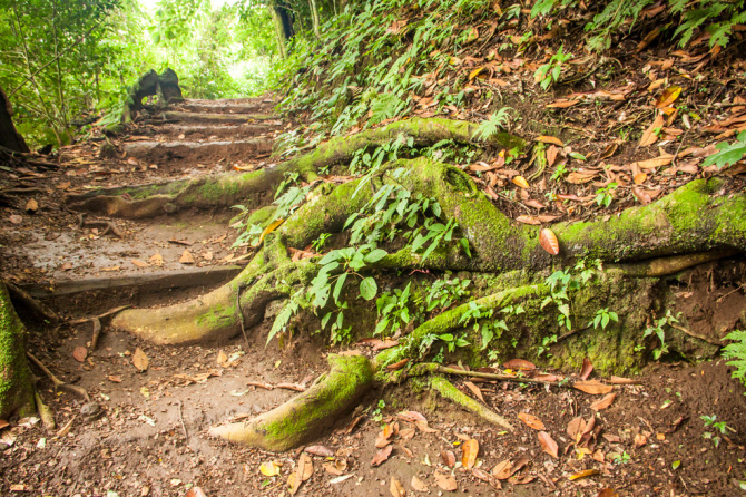 Roots along Trail in the Jungle
