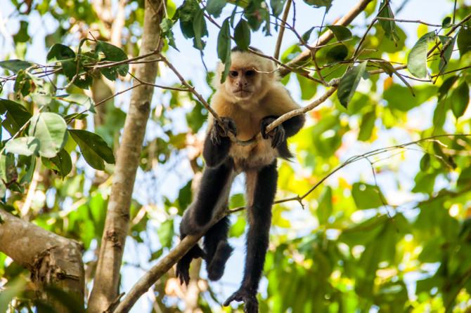 Costa Rica Monkey In Tree