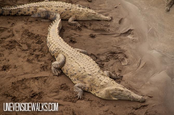 Alligator Under Bridge in Tarcoles Costa Rica