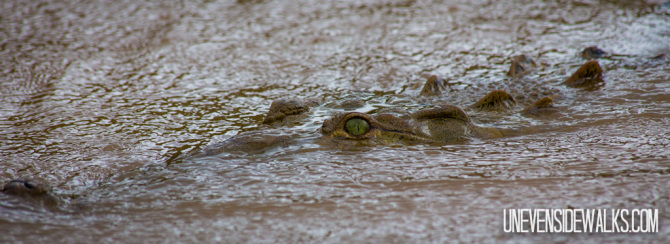 Crocodile Eyes Slinking Through River