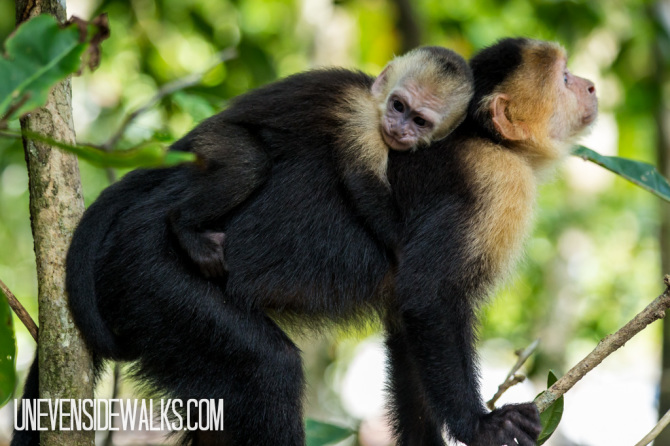 Friday Favorites Picture of Monkey Mom With Baby on Her Back