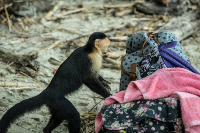 Monkey Digging Through Tourists Bags