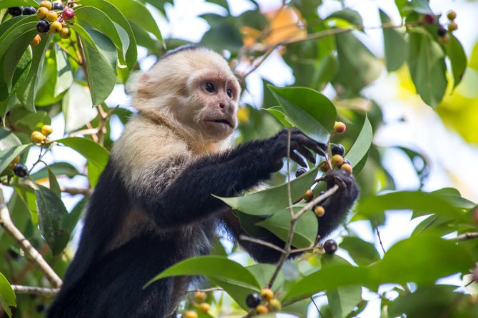 Monkey Eating Berries