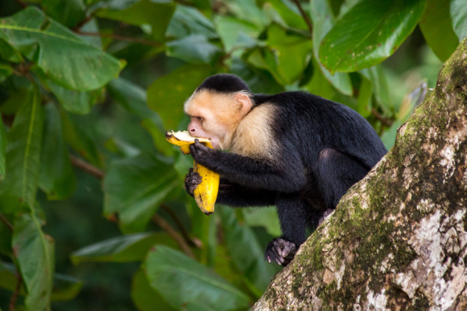 Monkey Eating Stolen Banana