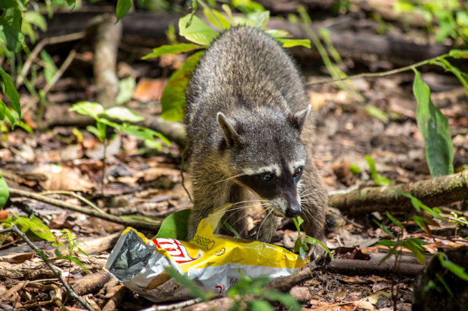 Raccoon Eating Lays Potato Chips