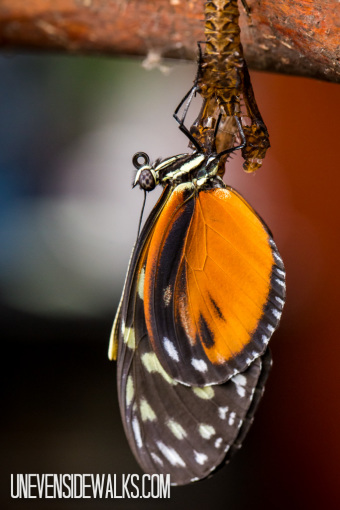 Butterfly Hatching from Cocoon