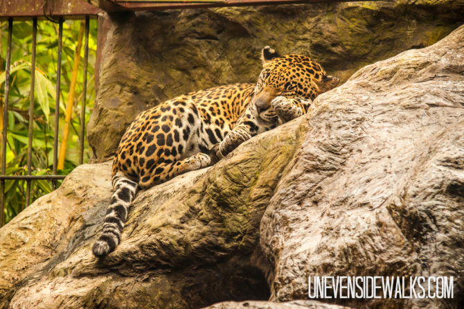 Jaguar in New Exhibit