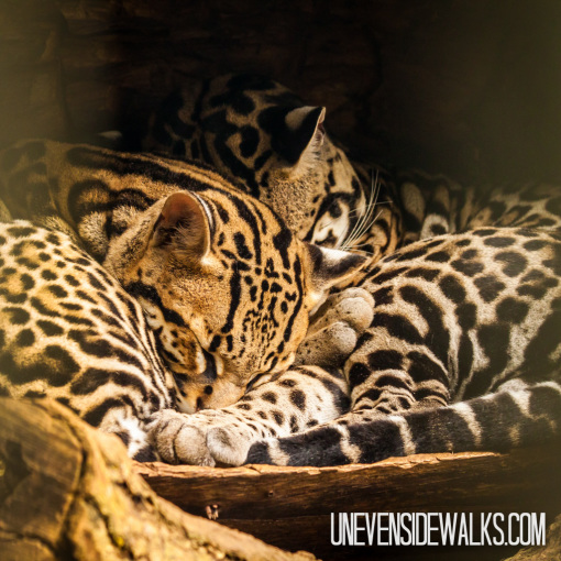 Ocelots Napping at La Paz Waterfall Garden