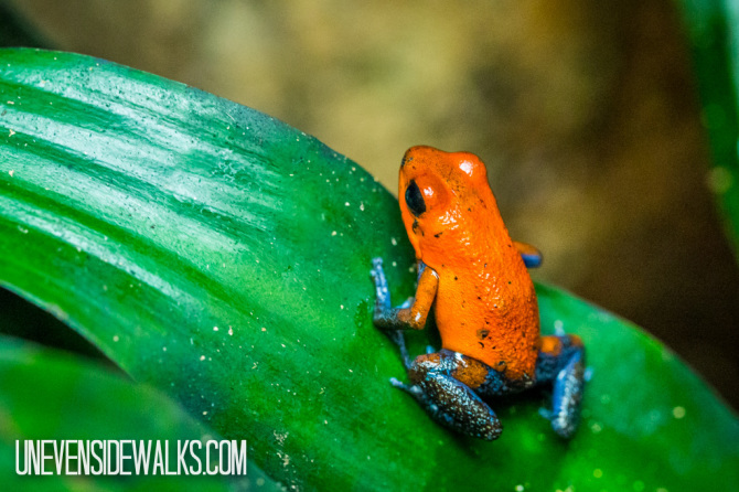 Strawberry Blue Jeans Poisonous Tree Frog at La Paz Waterfalls Exhibit