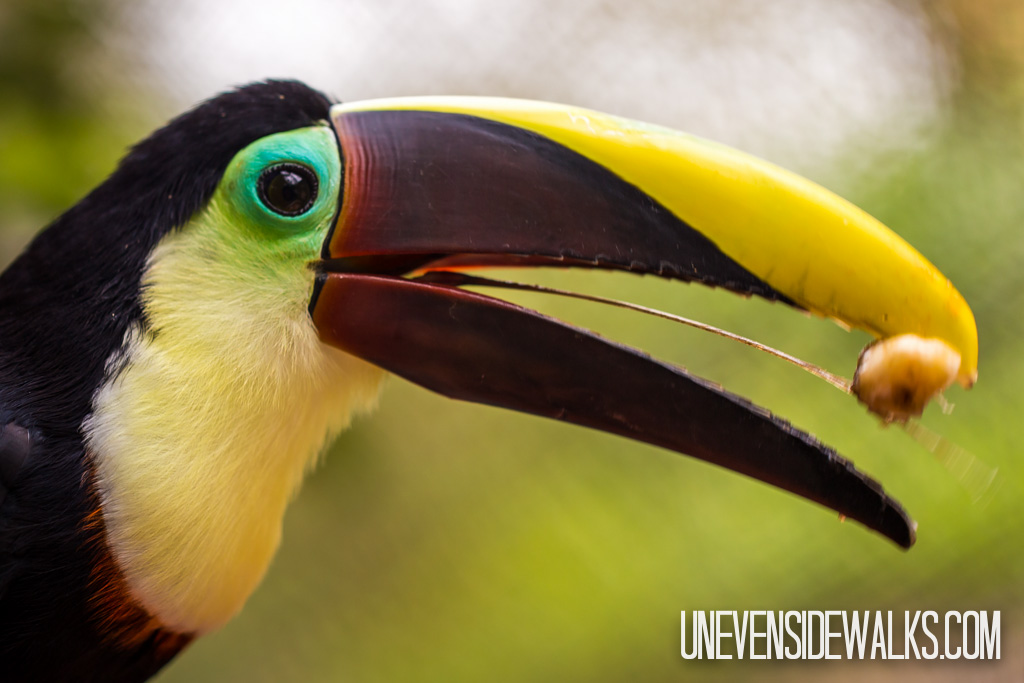 Toucan Eating Banana