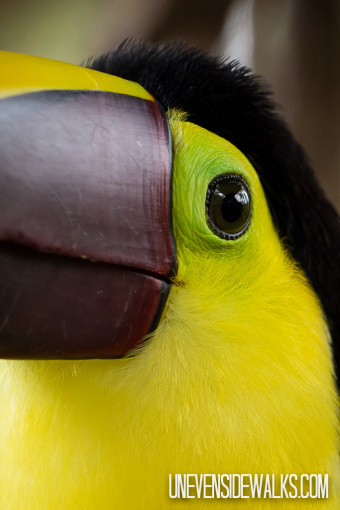 Toucan Eye Up Close
