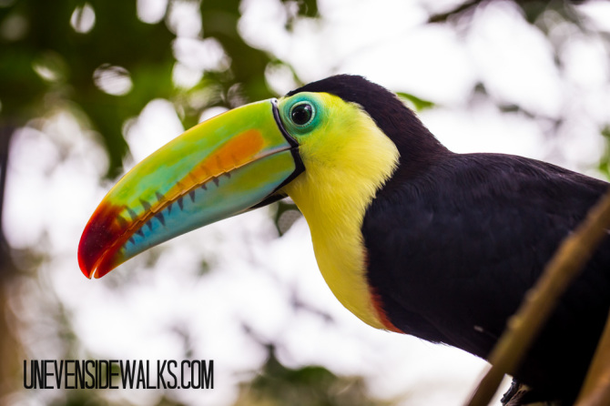 Toucan in Tree at La Paz Waterfalls Gardens Nature Park