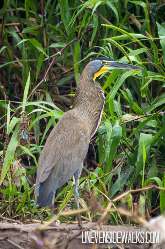 Bare Throated Tiger Heron in Carara National Park in Tarcoles