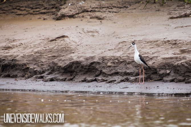 Black Necked Stilt Bird Looking in Water