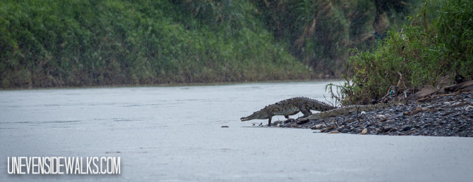 Crocodile Entering Water