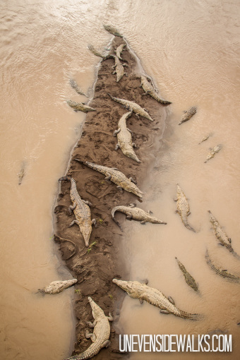 Crocodiles Under Tarcoles Bridge