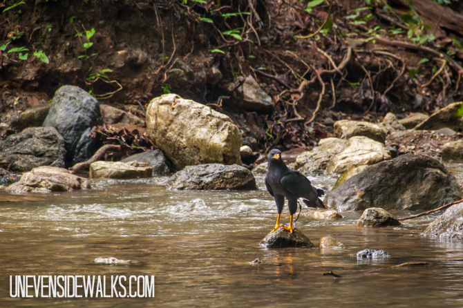 Black Falcon in Corcovado River