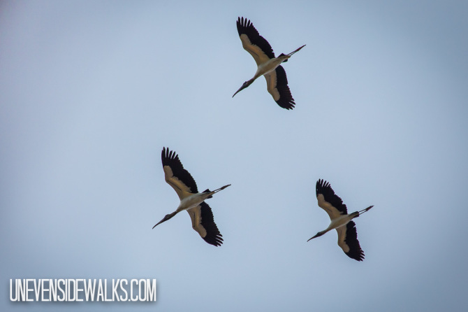 Storks Flying in Formation