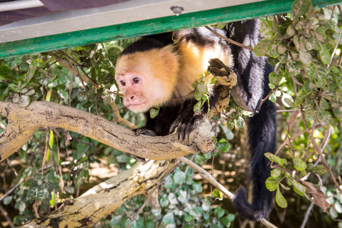 Monkey watching from the trees, one of the reasons to visit Palo Verde National Park