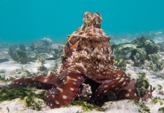 Awesome Octopus while Diving