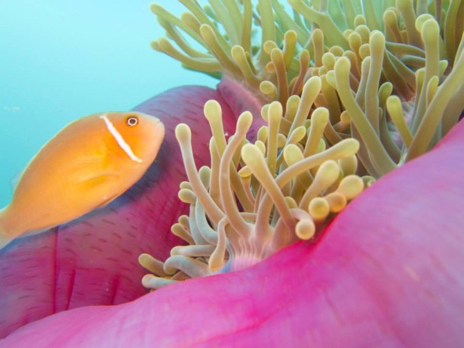 2015 Bucket List Diving with Fish Swimming in Sea Anemones