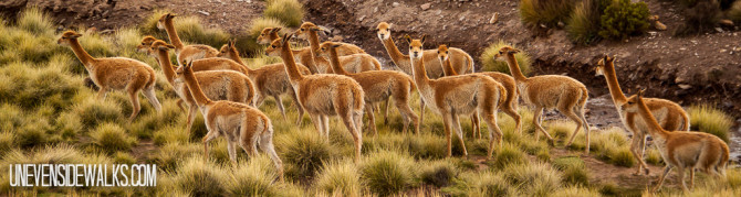 Big group of Vicuña animals on the plains