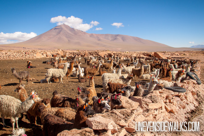 Llama pen with hundreds of llamas raising their babies in San Antonio de Lipez