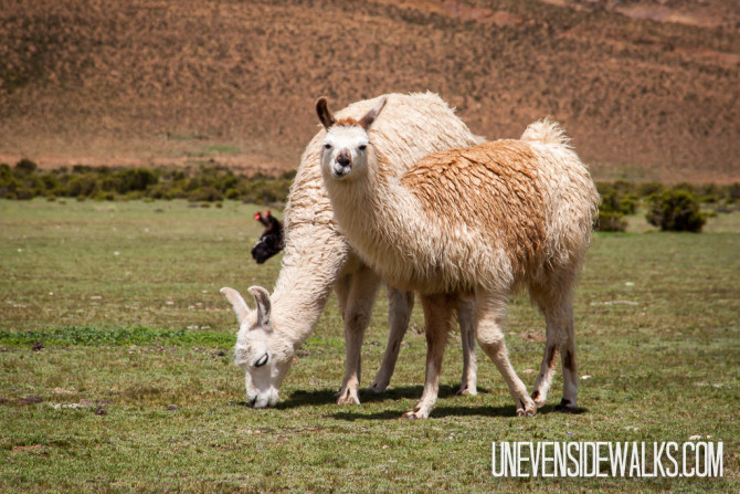Llamas on the plains of Bolivia