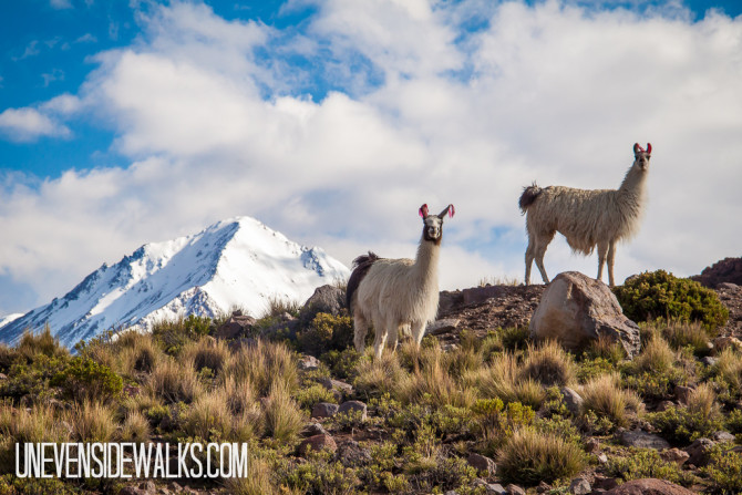 Llamas watching over the mountains