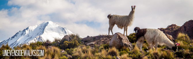 Perfect Portrait of Llamas watching us with a Snowy Mountain in the Background
