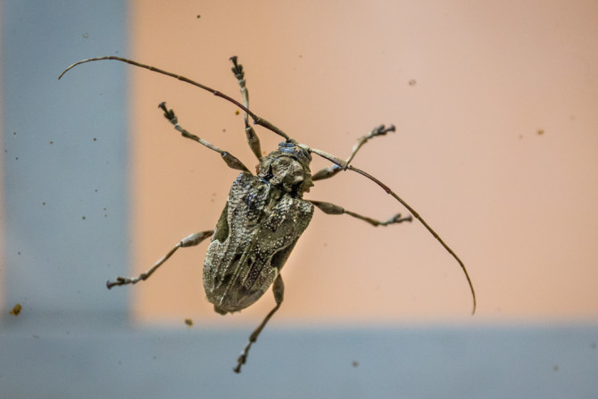 Bug with big antennaes
