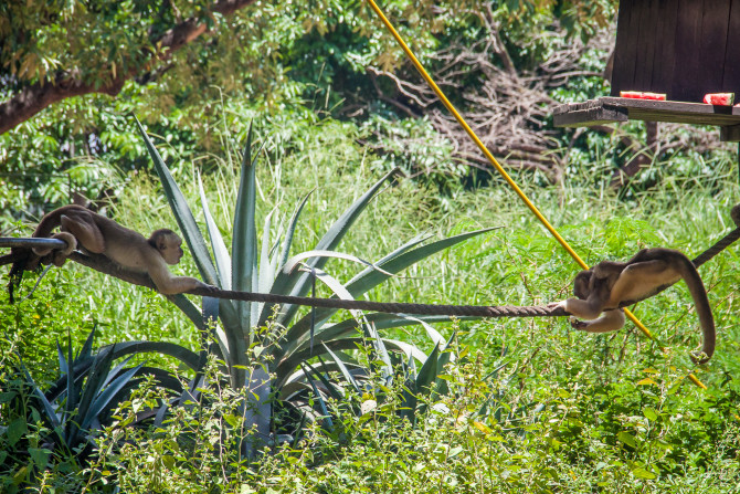 2 Monkeys Crossing a rope