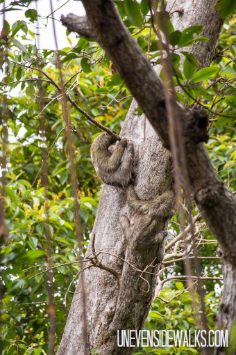 Sloths in the Tree on a Secluded Island