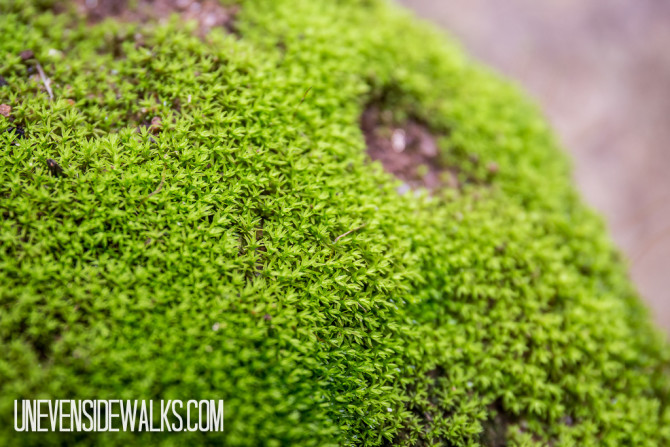 Moss Lichen Growing on the Rocks
