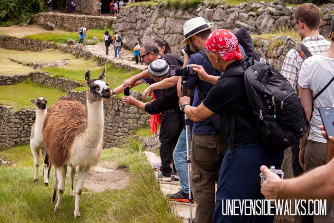 Tourists Taking Pictures of Llamas at Machu Picchu, Peru