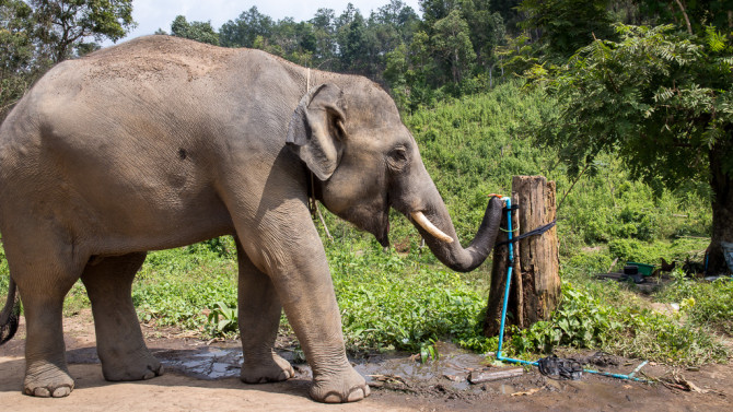 Smart Elephant Drinking from Hose Spigot