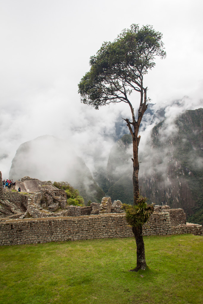 Tree at Machu Pichhu