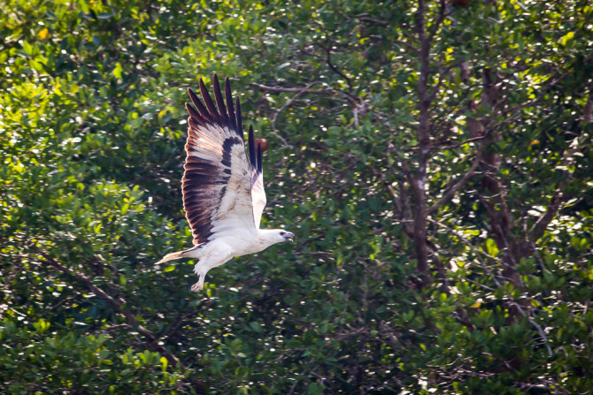Eagle Flying with Mangroves